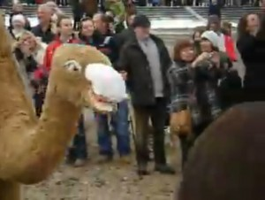 Godfrey The Camel